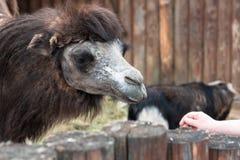 Σίτιση των όμορφων καμηλών στο ζωολογικό κήπο επαφών στοκ εικόνα με δικαίωμα ελεύθερης χρήσης