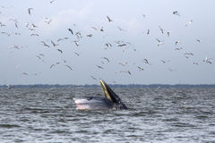 Σίτιση φαλαινών Bryde Στοκ φωτογραφίες με δικαίωμα ελεύθερης χρήσης