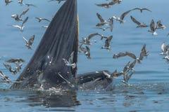 Σίτιση φαλαινών Bryde ` s στο Κόλπο της Ταϊλάνδης στοκ φωτογραφία με δικαίωμα ελεύθερης χρήσης
