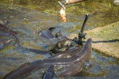 Σίτιση χελιών Στοκ φωτογραφία με δικαίωμα ελεύθερης χρήσης