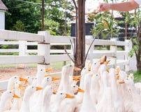 Σίτιση χεριών και τρόφιμα μείωσης για τη μεγάλη ομάδα άσπρων παπιών στο τοπικό αγρόκτημα Στοκ Φωτογραφία