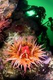 Σίτιση Anemone Στοκ φωτογραφία με δικαίωμα ελεύθερης χρήσης