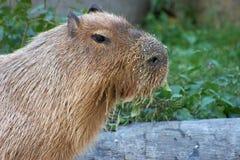 σίτιση capybara στοκ εικόνα