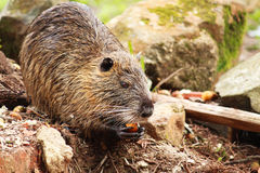 Σίτιση Capybara στοκ εικόνες
