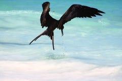 σίτιση frigatebird Στοκ Εικόνες