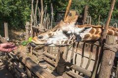 Σίτιση giraffe στο ζωολογικό κήπο Στοκ Εικόνες