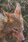 σίτιση jackal στοκ εικόνες με δικαίωμα ελεύθερης χρήσης