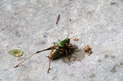 Σίτιση Mantis Στοκ Φωτογραφίες