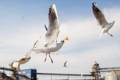 Σίτιση seagulls Στοκ Εικόνες