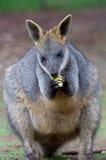 σίτιση wallaby Στοκ Εικόνες