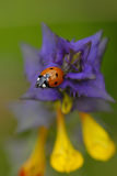 σίτος αγελάδων hain ladybugs Στοκ Εικόνες