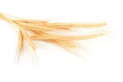 σίτος αυτιών Στοκ εικόνα με δικαίωμα ελεύθερης χρήσης