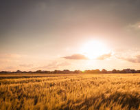 σίτος ηλιοβασιλέματος φύσης πεδίων σύνθεσης Στοκ Φωτογραφίες