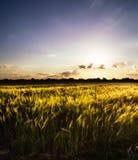 σίτος ηλιοβασιλέματος φύσης πεδίων σύνθεσης Στοκ φωτογραφία με δικαίωμα ελεύθερης χρήσης