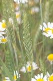 Σίτος και άσπρος chamomile Στοκ Εικόνες