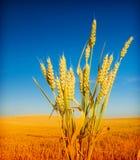 σίτος μπλε ουρανού στοκ φωτογραφία με δικαίωμα ελεύθερης χρήσης