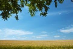 σίτος πεδίων στοκ φωτογραφία με δικαίωμα ελεύθερης χρήσης