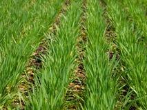 Σίτος που φυτεύει τον τομέα (εκλεκτική εστίαση) Στοκ φωτογραφία με δικαίωμα ελεύθερης χρήσης