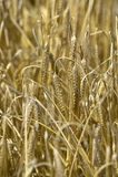 σίτος σιταριού πεδίων Στοκ φωτογραφία με δικαίωμα ελεύθερης χρήσης