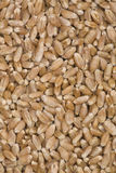 σίτος σιταριών Στοκ εικόνα με δικαίωμα ελεύθερης χρήσης