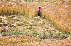 Σίτος συγκομιδής γυναικών στοκ εικόνες με δικαίωμα ελεύθερης χρήσης