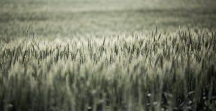 σίτος τοπίων Στοκ φωτογραφία με δικαίωμα ελεύθερης χρήσης