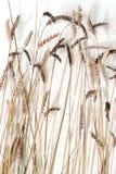 σίτος στοκ φωτογραφία με δικαίωμα ελεύθερης χρήσης