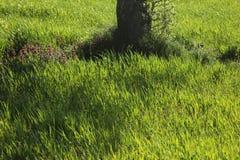 Σίτος Στοκ εικόνα με δικαίωμα ελεύθερης χρήσης