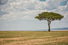 Σαβάνα πάρκων της Κένυας Masai Mara Στοκ Εικόνα