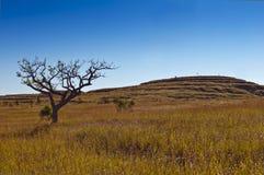 σαβάνα Χλόη και δέντρο Μαδαγασκάρη Στοκ Φωτογραφία