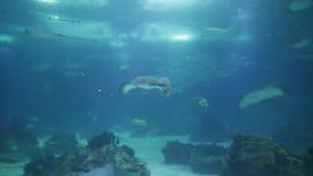 Σαλάχι του Στινγκ και καρχαρίας λεοπαρδάλεων απόθεμα βίντεο