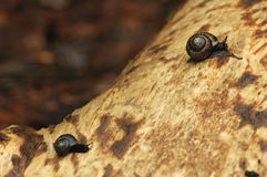 σαλιγκάρια δύο κούτσουρων Στοκ φωτογραφία με δικαίωμα ελεύθερης χρήσης