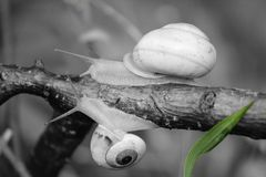 Σαλιγκάρια που γλιστρούν σε έναν μαύρου & άσπρου μακρο πυροβολισμό μίσχων, στοκ εικόνες με δικαίωμα ελεύθερης χρήσης
