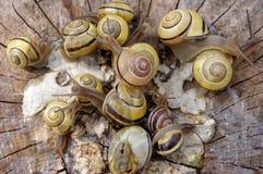 σαλιγκάρια pomatia Στοκ Φωτογραφία