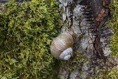 Σαλιγκάρι αμπελώνων σε ένα δέντρο στοκ εικόνες