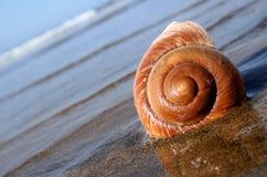 σαλιγκάρι θάλασσας Στοκ Εικόνες