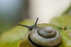 σαλιγκάρι κήπων Στοκ Εικόνα