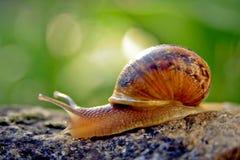 σαλιγκάρι κήπων Στοκ φωτογραφίες με δικαίωμα ελεύθερης χρήσης