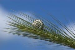σαλιγκάρι καλαμποκιού στοκ φωτογραφίες