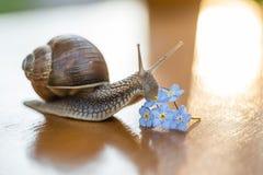 Σαλιγκάρι που γλιστρά forget-me-not στο λουλούδι στοκ φωτογραφία με δικαίωμα ελεύθερης χρήσης