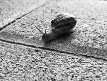 Σαλιγκάρι που σέρνεται στο δάπεδο πετρών Burgundy σαλιγκάρι, έλικας, ρωμαϊκό σαλιγκάρι, εδώδιμο σαλιγκάρι ή escargot σύρσιμο στοκ εικόνα με δικαίωμα ελεύθερης χρήσης