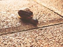 Σαλιγκάρι που σέρνεται στο δάπεδο πετρών Burgundy σαλιγκάρι, έλικας, ρωμαϊκό σαλιγκάρι, εδώδιμο σαλιγκάρι ή escargot σύρσιμο στοκ εικόνες με δικαίωμα ελεύθερης χρήσης