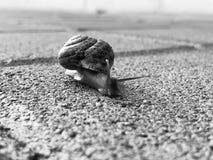 Σαλιγκάρι που σέρνεται στο δάπεδο πετρών Burgundy σαλιγκάρι, έλικας, ρωμαϊκό σαλιγκάρι, εδώδιμο σαλιγκάρι ή escargot σύρσιμο στοκ φωτογραφία