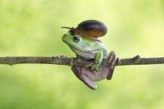 Σαλιγκάρι στον επικεφαλής κοντόχοντρο βάτραχο, βάτραχος στον κλάδο Στοκ φωτογραφία με δικαίωμα ελεύθερης χρήσης