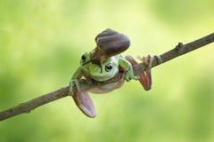 Σαλιγκάρι στον επικεφαλής κοντόχοντρο βάτραχο, βάτραχος στον κλάδο Στοκ Φωτογραφία