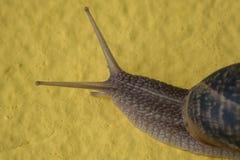 Σαλιγκάρι στο κίτρινο υπόβαθρο στοκ φωτογραφία