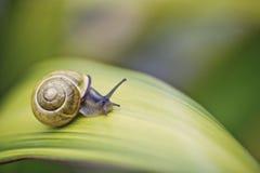 Σαλιγκάρι στο πράσινο φύλλο στοκ φωτογραφίες με δικαίωμα ελεύθερης χρήσης