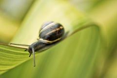Σαλιγκάρι στο πράσινο φύλλο στοκ φωτογραφία με δικαίωμα ελεύθερης χρήσης