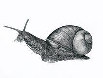 Σαλιγκάρι Στοκ Εικόνες