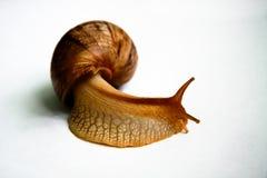 Σαλιγκάρι Achatina σε ένα άσπρο υπόβαθρο Στοκ Εικόνες